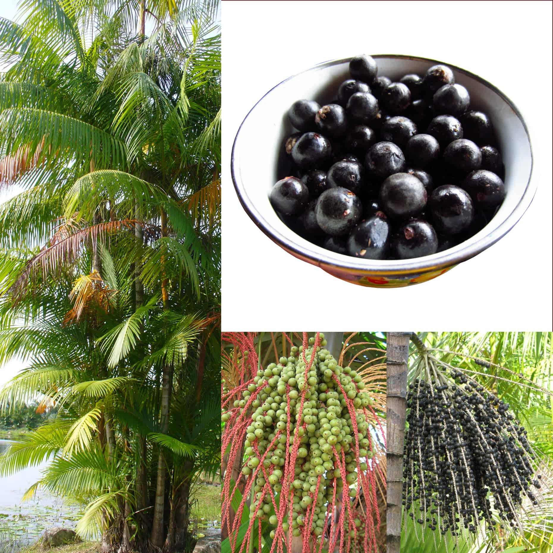 Açaï Pure : un superfruit riche en anthocyanes, vitamines et minéraux