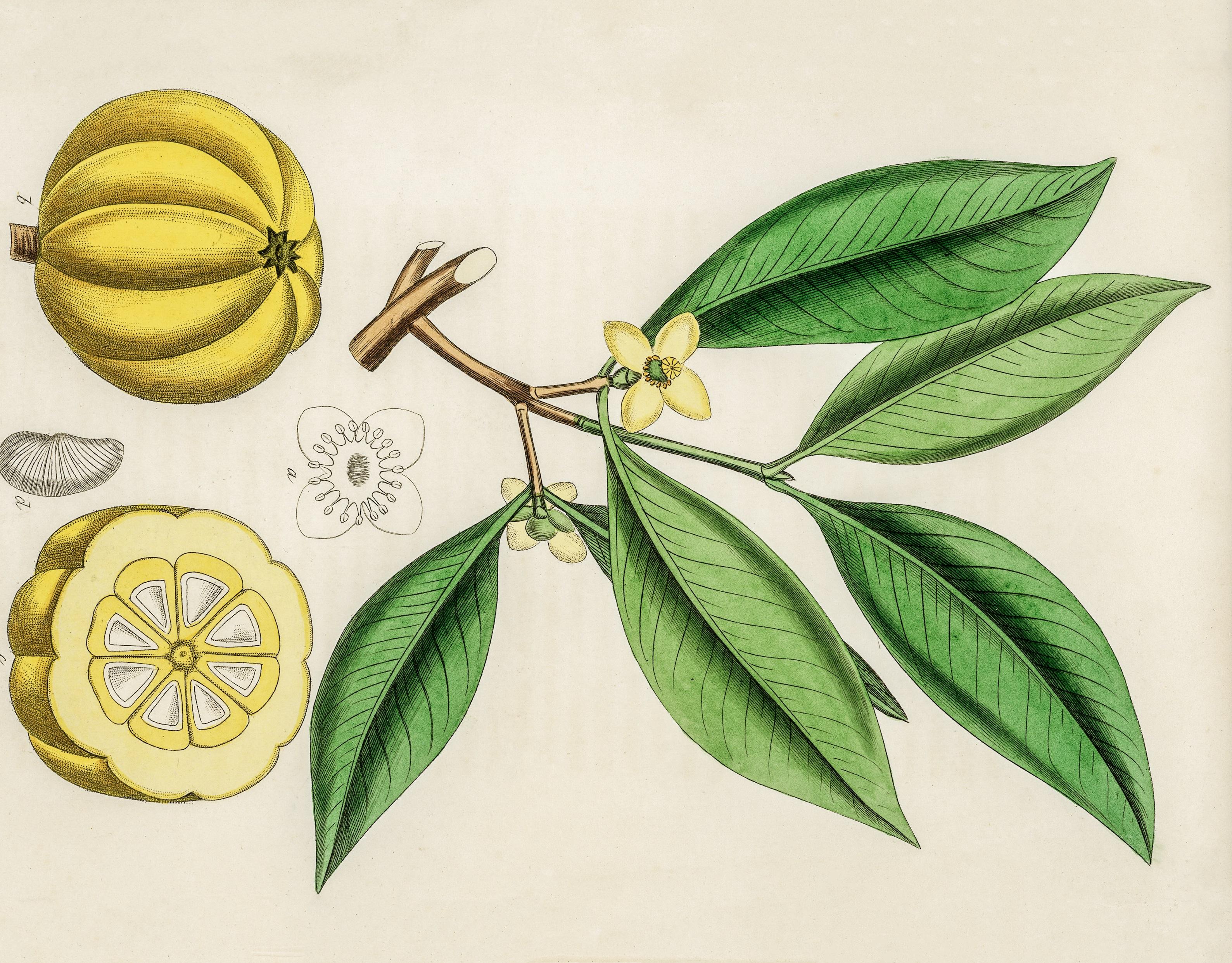 Garcinia Cambogia superfruit