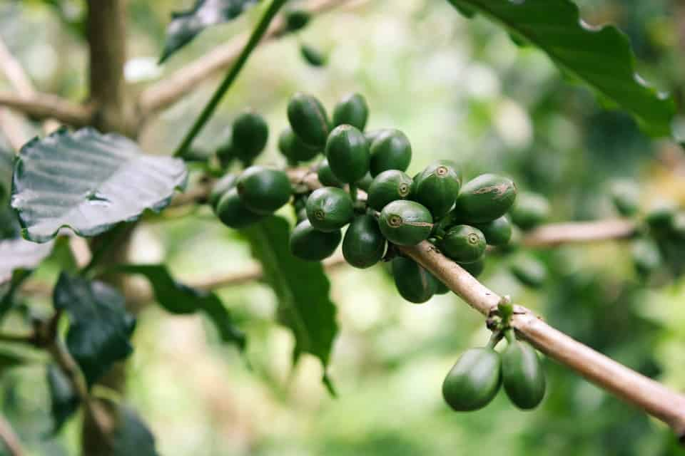 coffee green pure