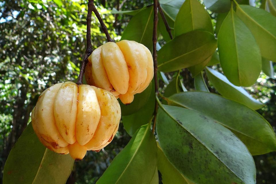 Garcinia Cambogia : bienfaits, avis et propriétés