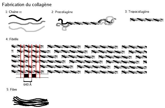 collagène, santé et collagène marin