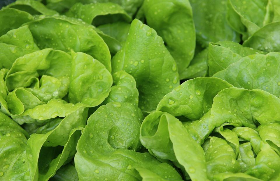 laitue légume minceur